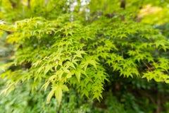 zielony klon tło Zdjęcie Royalty Free