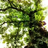 zielony klonowy drzewo Zdjęcia Stock