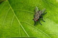 zielony komarnica liść Obraz Royalty Free