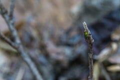 Zielony komarnicy dosypianie Obrazy Stock