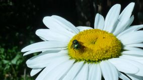 Zielony komarnicy lub butelki komarnicy insekta obsiadanie na chamomile kwiacie zbiory