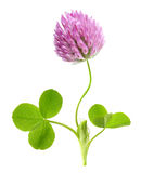 Zielony koniczynowy liść i kwiat odizolowywający Zdjęcia Royalty Free