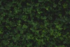 Zielony koniczynowy tło, odgórny widok Liście, kopii przestrzeń zdjęcie stock