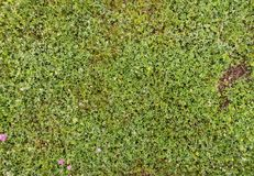 Zielony koniczyny pole, texture/tło obrazy royalty free