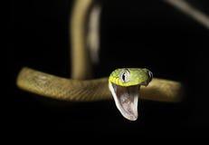 Zielony kota wąż z usta agapą (Boiga cyanea) Zdjęcia Stock