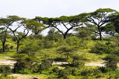 Zielony krajobraz w Serengeti Tanzania, Afryka Obrazy Royalty Free