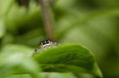 zielony kryjówki skoku liść pająk Fotografia Stock