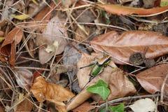 Zielony krykiet na ziemi Zdjęcie Royalty Free