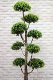 Zielony krzaków bonsai drzewo Zdjęcia Stock