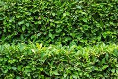 Zielony krzak Obrazy Royalty Free