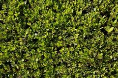 Zielony krzak dla tła zdjęcia royalty free