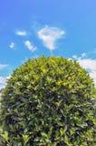 Zielony krzak odizolowywający na niebieskim niebie i pięknych chmurach w ogródzie Obrazy Stock