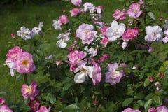 Zielony krzak pełno małe piękne menchii i menchii herbaciane róże na zielonym tle Zdjęcia Royalty Free
