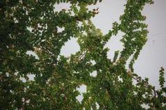 Zielony krzak r na betonowej ścianie Zieleń liście na betonowej ściany tle obrazy royalty free