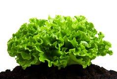 Zielony krzak sałatka na glebowym humusowym łóżku obrazy stock