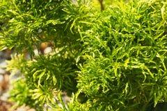 Zielony krzak w ogrodowym widoku od wierzchołka Obraz Stock