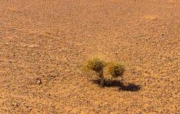 Zielony krzak w saharze Obrazy Royalty Free