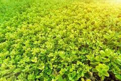 Zielony krzak z białym kwiatem Zieleń liści ściana Zdjęcie Royalty Free