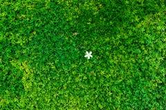 Zielony krzak z białym kwiatem Zieleń liści ściana Zdjęcia Royalty Free