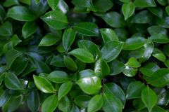 Zielony krzak z małymi liśćmi greenfield zdjęcia stock