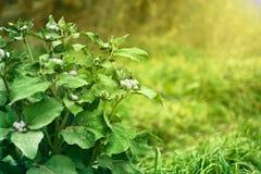 Zielony krzaka agrimony w trawie Fotografia Stock