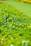 Zielony krzaka i gazonu tło Fotografia Stock