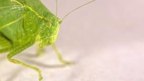 Zielony krzaka krykiet z nitkowi antennae obraz royalty free