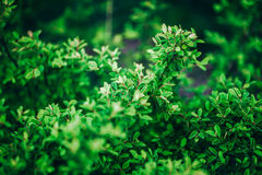 Zielony krzaka tła zakończenie up Fotografia Stock