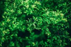 Zielony krzaka tła zakończenie up Zdjęcie Stock