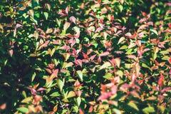 Zielony krzaka tła zakończenie up Obraz Royalty Free