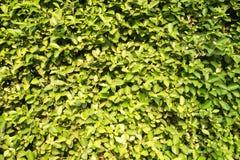 Zielony krzaka tło Obraz Stock