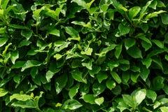 Zielony krzaka tło Obraz Royalty Free