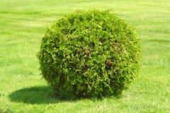 zielony krzew obrazy stock