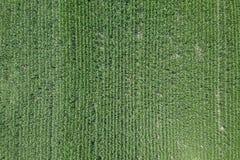 Zielony kukurydzany pole, Kukurydzany pole Fotografia Stock