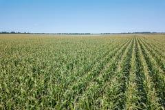Zielony kukurydzany pole, Kukurydzany pole Obrazy Royalty Free