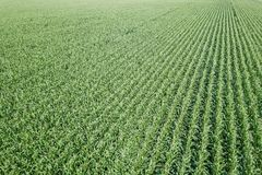 Zielony kukurydzany pole, Kukurydzany pole Obraz Stock