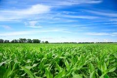 Zielony kukurydzany pole Zdjęcia Royalty Free