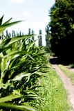 Zielony kukurydzany pole Zdjęcie Stock