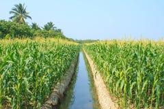 Zielony kukurydzany pole Obraz Stock