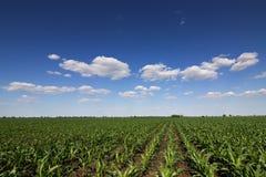 Zielony kukurydzany pole, niebieskie niebo i słońce na letnim dniu, Obraz Stock