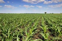 Zielony kukurydzany pole, niebieskie niebo i słońce na letnim dniu, Zdjęcia Royalty Free
