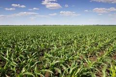 Zielony kukurydzany pole, niebieskie niebo i słońce na letnim dniu, Zdjęcie Royalty Free