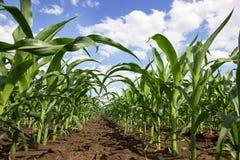 Zielony kukurydzany pole, niebieskie niebo i słońce na letnim dniu, Fotografia Stock