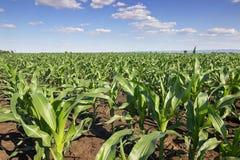 Zielony kukurydzany pole, niebieskie niebo i słońce na letnim dniu, Zdjęcia Stock