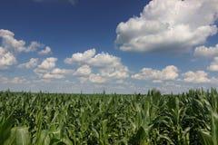 Zielony kukurydzany pole, niebieskie niebo na letnim dniu wieczorem pola kukurydzy tła hill kukurydzanego pola zieleni potomstwa Fotografia Stock