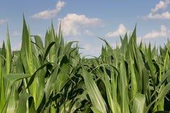 Zielony kukurydzany pole, niebieskie niebo na letnim dniu wieczorem pola kukurydzy tła hill kukurydzanego pola zieleni potomstwa Zdjęcie Stock