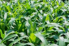 Zielony kukurydzany pole, uprawia ziemię pole Zdjęcie Stock