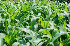 Zielony kukurydzany pole, uprawia ziemię pole Fotografia Royalty Free