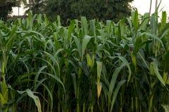 Zielony kukurydzany pole w Tajlandia, Kukurydzany rolnictwo zielona natury Rur Obraz Stock