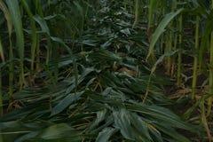 Zielony kukurydzany pole w Tajlandia, Kukurydzany rolnictwo zielona natury Rur Zdjęcia Royalty Free